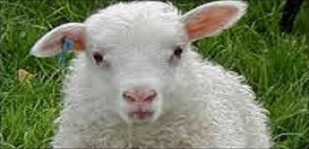 Connaissez-vous le mot anglais pour «mouton» ?