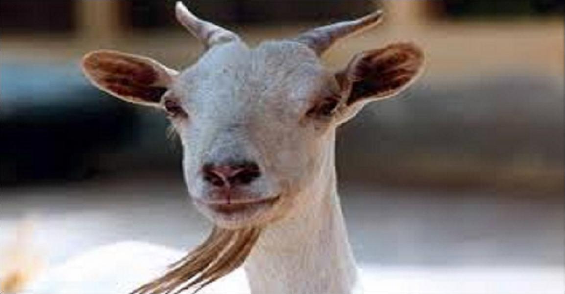Comment exprime-t-on le mot «chèvre» en anglais ?