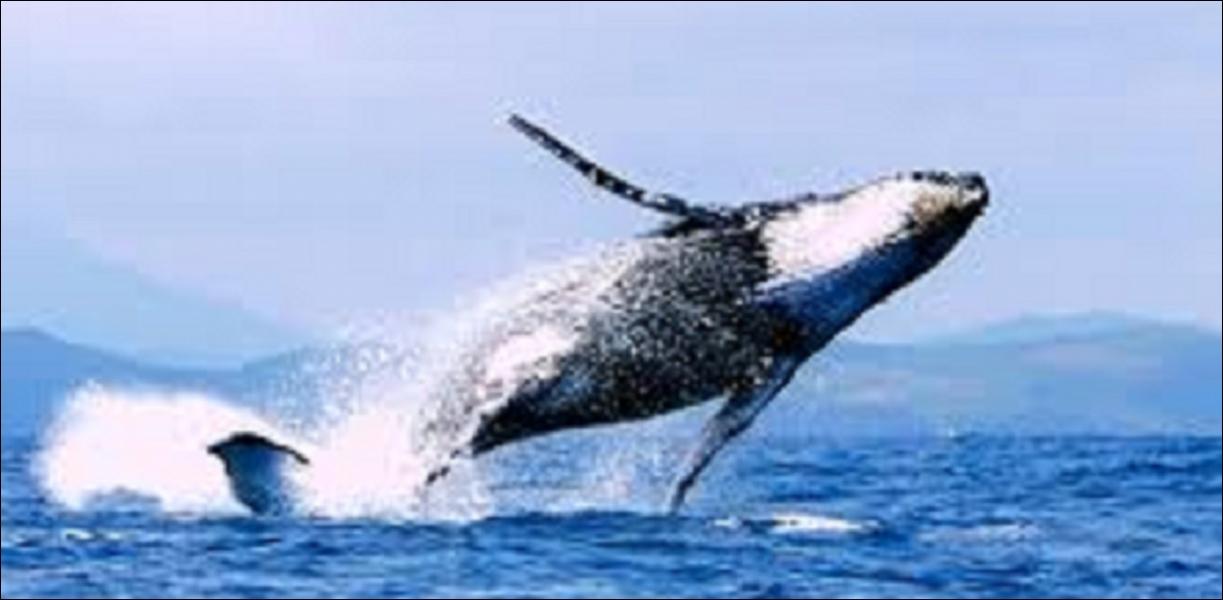 Comment diriez-vous «baleine» en anglais ?