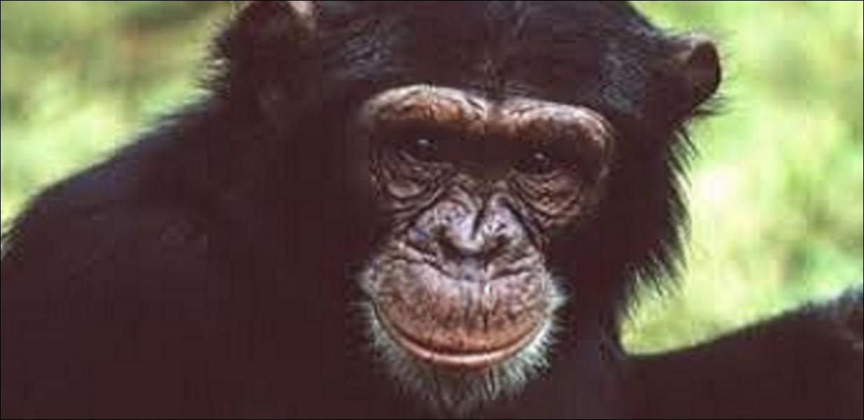 Quel est l'équivalent anglais du mot «chimpanzé» ?