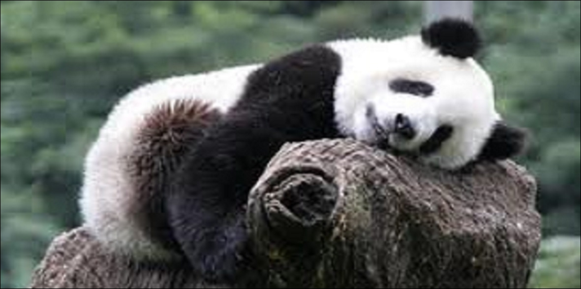 Comment exprime-t-on le mot «panda» en anglais ?