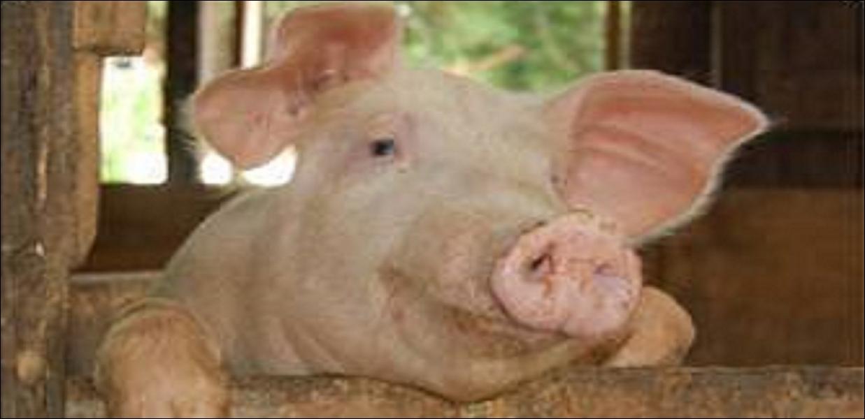 Comment diriez-vous «porc» ou «cochon» en anglais ?