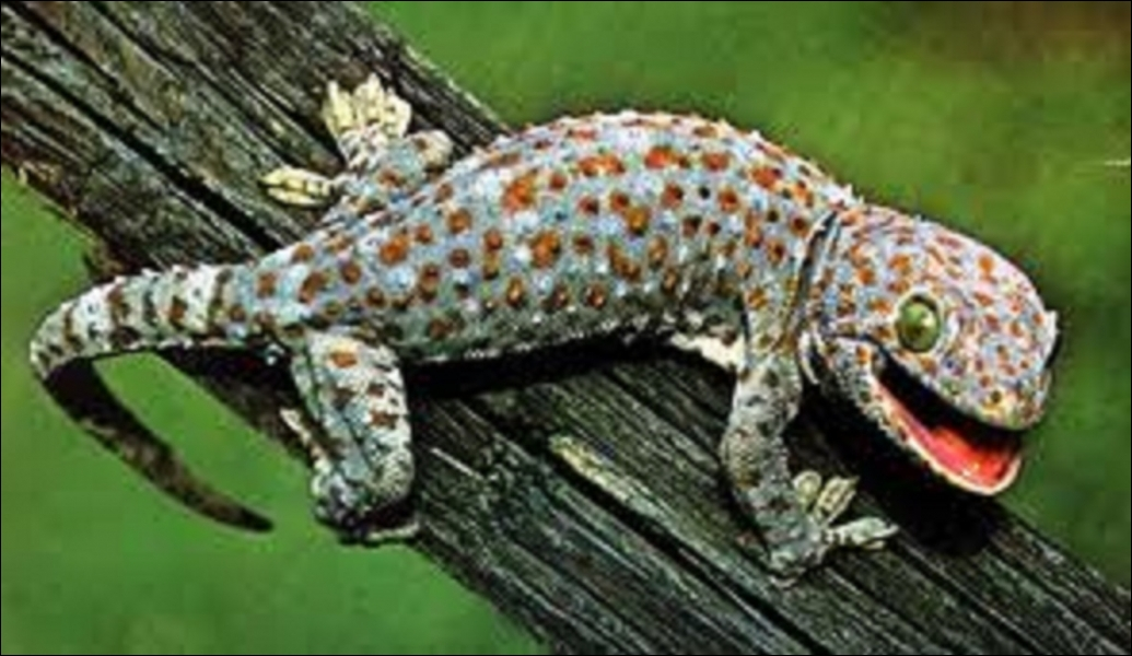 Les pattes des geckos ont-elles des milliers de  doigts  microscopiques eux-mêmes assortis d'environ 500 minuscules filaments leur permettant de grimper sur n'importe quelle surface verticale ?