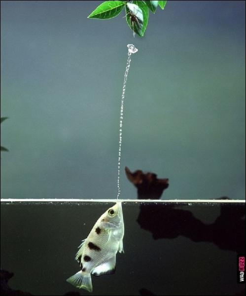 Jusqu'à quelle distance le poisson-archer peut-il capturer des mouches ou d'autres insectes volants grâce au jet d'eau qu'il projette lorsqu'il est juste sous la surface de l'eau ?