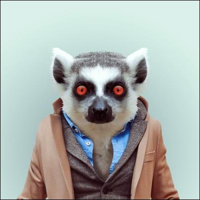 Pas besoin d'aller à Madagascar, sa terre d'origine, pour le voir, il est présent dans tous les parcs animaliers du monde !