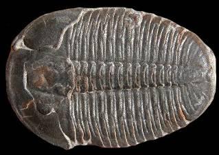 Cet arthropode marin qui a vécu à l'ère primaire n'a pas survécu à l'extinction de masse à la fin de cette période, c'est le :
