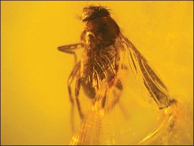 Cette résine fossile était un piège pour les insectes, c'est :