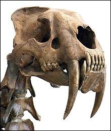 Le Smilodon est plus connu sous de nom de :