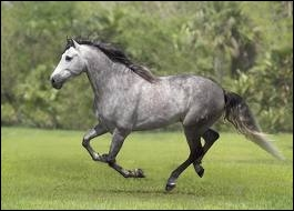 Le cheval de la photo est gris pommelé mais de quelle race est-il ?