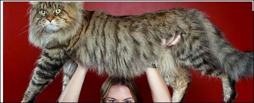 La légende le fait remonter à un croisement impossible de chat et de raton-laveur. Une des plus anciennes races nord-américaine :