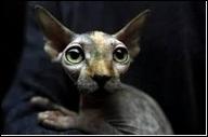 Des chats  nus  naissent de temps en temps, et l'on suppose que les Aztèques furent les 1er à les entretenir. Les éleveurs canadiens ont perpétués cette nudité jusqu'à obtenir en 1966, la race :