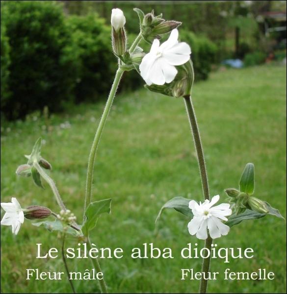 Le silène est soit mâle, soit femelle. Les fleurs du pied femelle sont plus grandes que celles du pied mâle. Il est aussi appelé ...