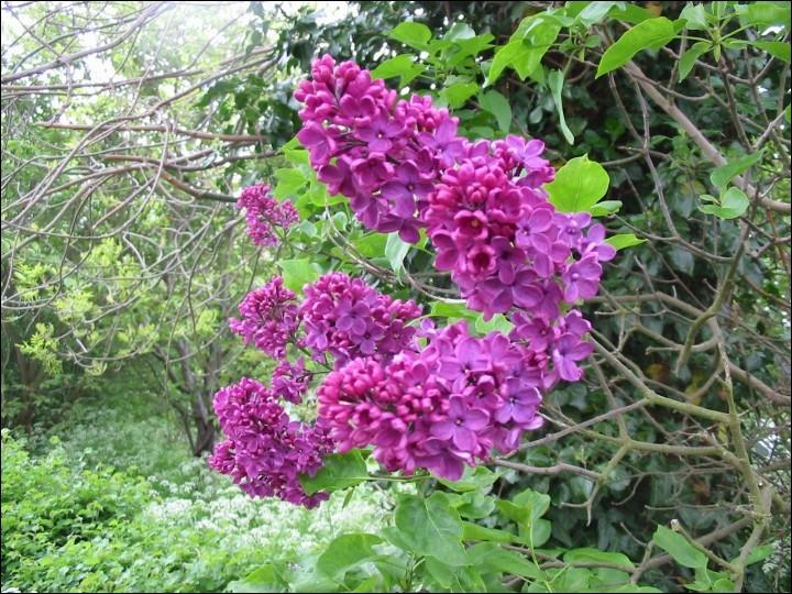 Comment se traduit le  lilas  en anglais ?