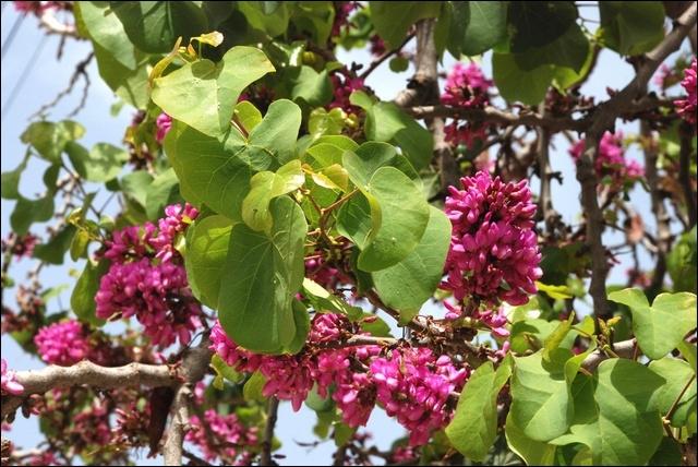 Quel est son nom botanique ?