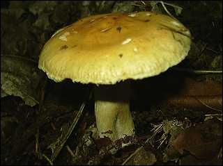 Comment s'appelle ce champignon (il aime bien les chevaux) ?