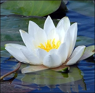 Si cher à Claude Monet dont ce sera le thème favori de ses oeuvres, les nymphéas blancs sont appelés couramment ... .