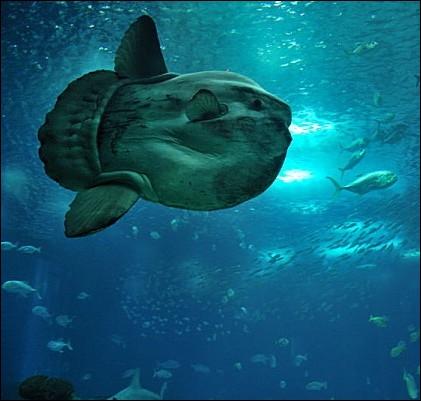 Vivant dans les eaux tempérées et tropicales des océans, ce poisson pouvant peser jusqu'à une tonne est appelé également  poisson-lune  ... .