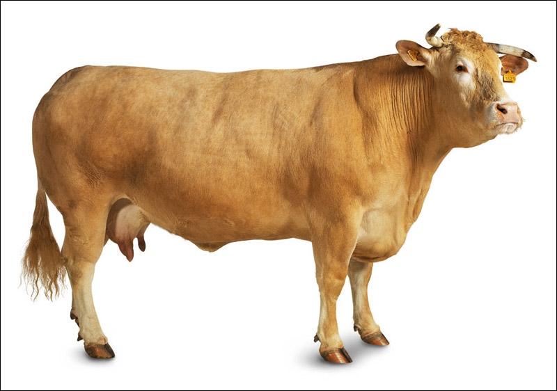 De quelle race, du Sud-Ouest, est cette gentille vache ?