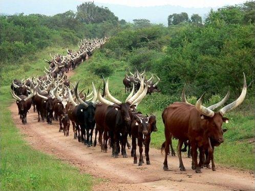 Histoire de vache