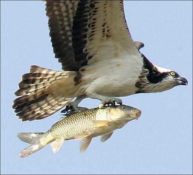 C'est le nom d'un aigle pêcheur !