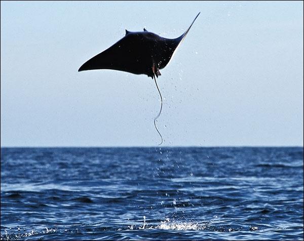 Les raies peuvent faire des bonds au dessus de l'eau, quelques fois de plusieurs mètres de hauteur, et se livrer, certains jours, à de véritables ...