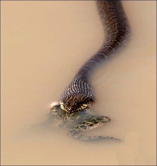 Pour de défendre contre un serpent venimeux, en cas d'absolue nécessité, rien de tel qu'une ...