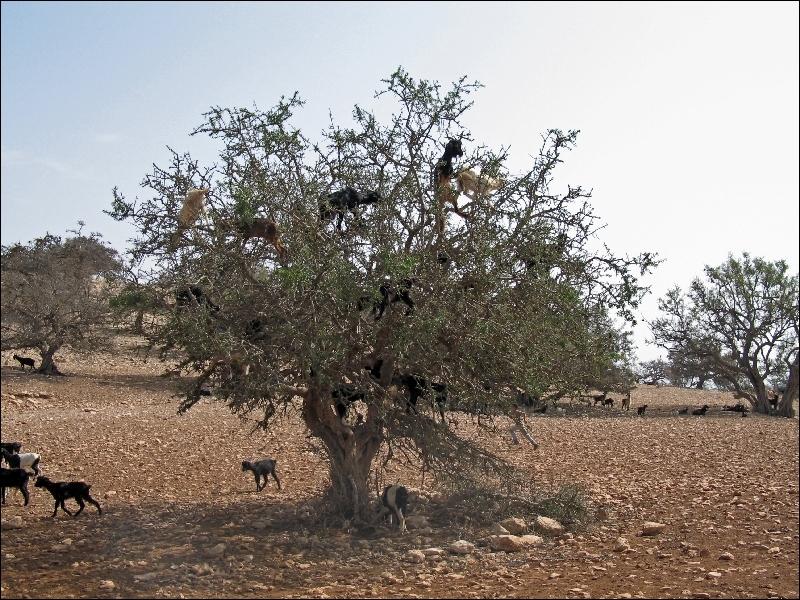 Cette photo est truquée, comment voulez-vous que des chèvres grimpent sur un arbre ?