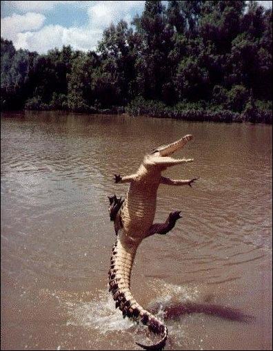 Certains jeunes crocodiles sont capables de sauter entièrement hors de l'eau !