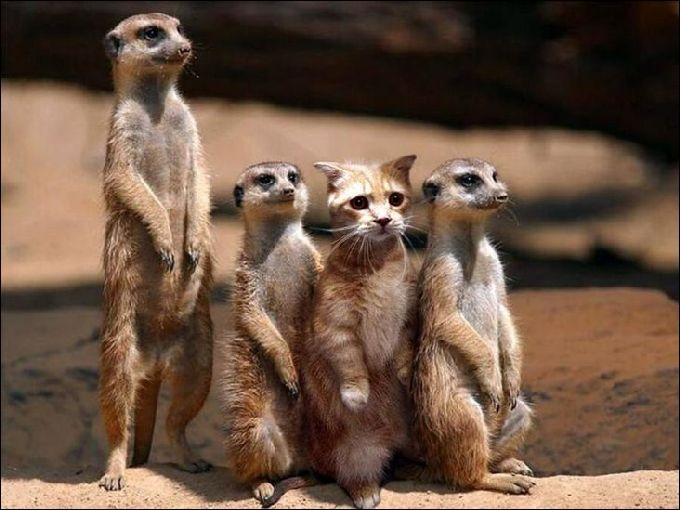 L'hybride de chat et de suricate s'appelle le charabia !