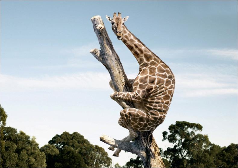 Dans la grande forêt congolaise, une espèce jusqu'alors inconnue de girafe vient d'être découverte, arboricole, elle peut se réfugier sur un arbre pour échapper aux prédateurs !