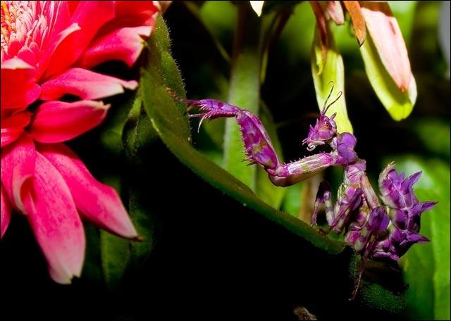 Une fleur peut imiter l'apparence d'une mante religieuse !