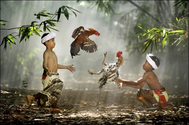 En Thaïlande, les combats de coqs sont très prisés !