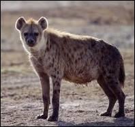 Comment dit-on  hyène  en anglais ?