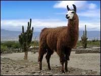Quelle est la traduction anglaise de  lama  ?