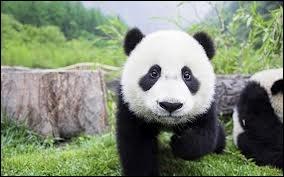 Quelle traduction donne-t-on à  panda  en anglais ?