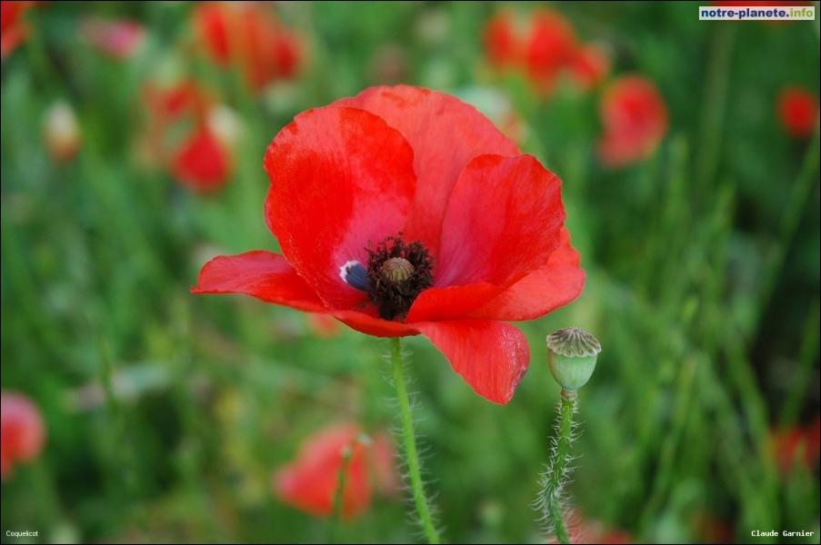 Quelle est cette fleur de couleur rouge ?