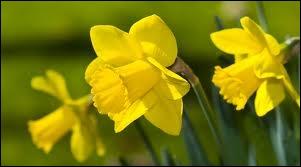 Comment s'appelle cette fleur qui symbolise le printemps ?