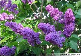 Quel est cette fleur de couleur mauve ?