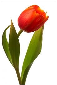 Comment s'appelle cette fleur présente sur le drapeau de l'Iran ?