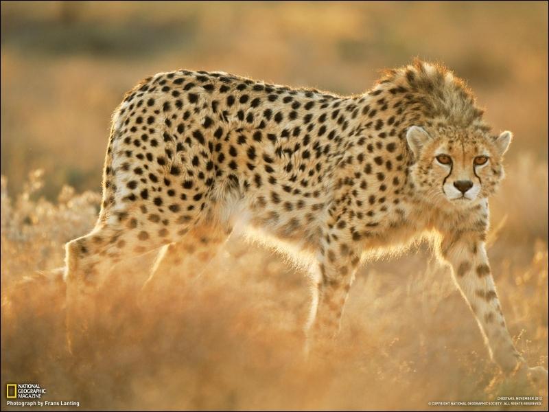 Cet animal gracieux et rapide à la fois qui est sans doute l'animal terrestre le plus rapide connu dans le monde n'est pas ...