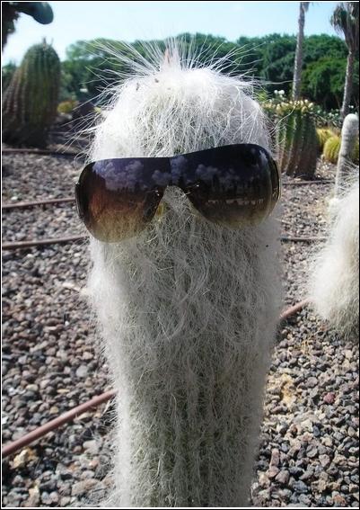 Cactus cierge pouvant atteindre 15m de hauteur, la tige possède 12 à 30 côtes couvertes d'aréoles qui portent chacune 20 à 30 épines à l'aspect de poils blancs. Son nom évoque la vieillesse. Mexique.