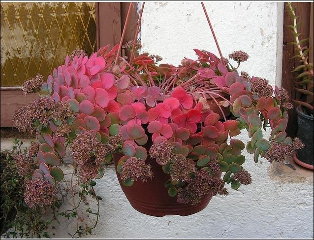 Succulente, famille des crassulacées. originaire de Madagascar. Rustique en région parisienne. Permet de belles potées. Appelé aussi Orpin.