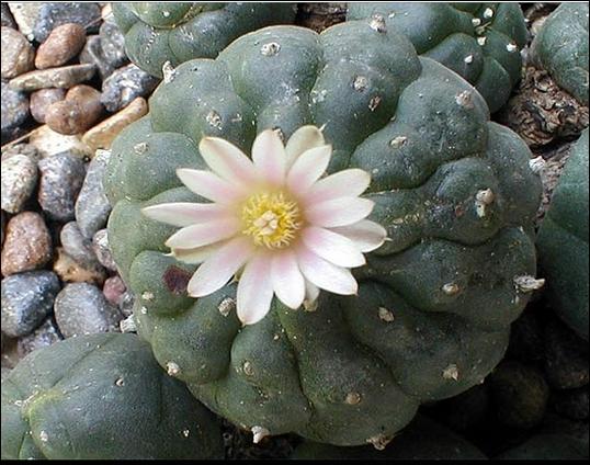 Cactus mexicain utilisé par les indiens pour ses propriétés psychotropes. Plus connu sous le nom de  Peyotl . Plante rituelle. Forme globuleuse.
