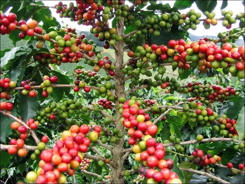 Combien de graine(s) renferme le fruit du caféier ?