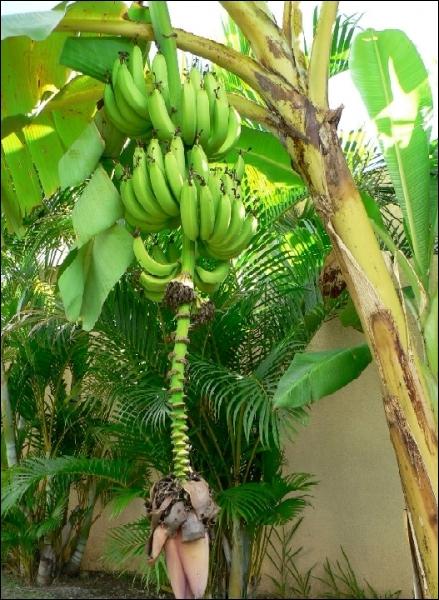 De quelle couleur est la banane mûre ?