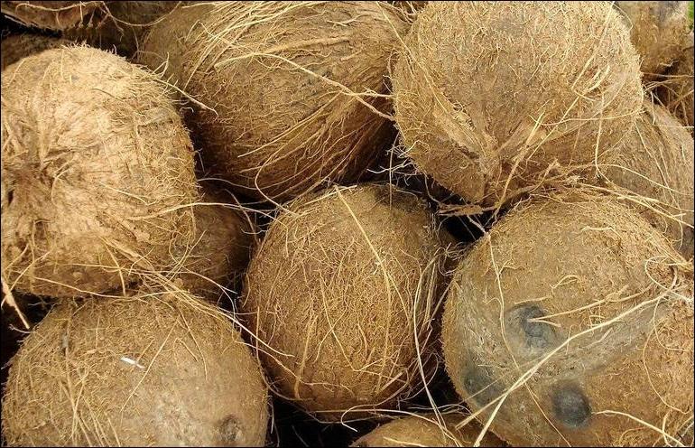 La coque dure de la noix de coco est tapissée d'une chair blanche et croquante.