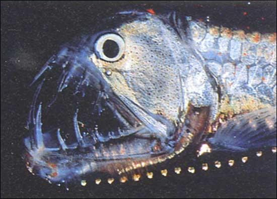 Quel est le nom de ce poisson sympathique qui vit dans les abysses et dont vous voyez la photo ?