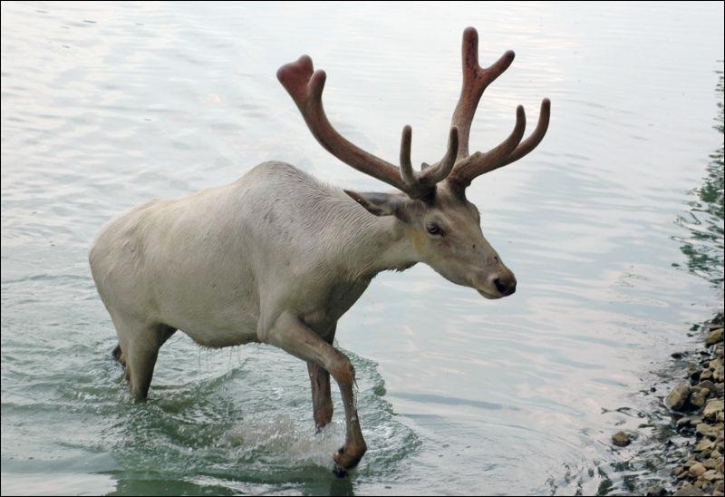 Comment nomme-t-on leurs habitations en peau de renne ?