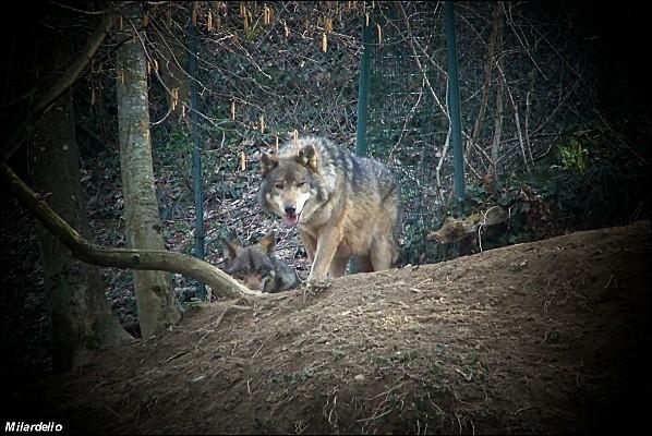 Dans  Le Roman de Renart , comment s'appelle le loup ?