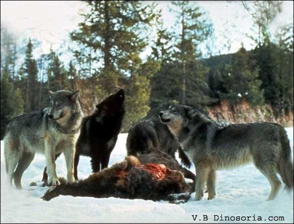 Dans lequel de ces trois films pouvez-vous voir des loups ?